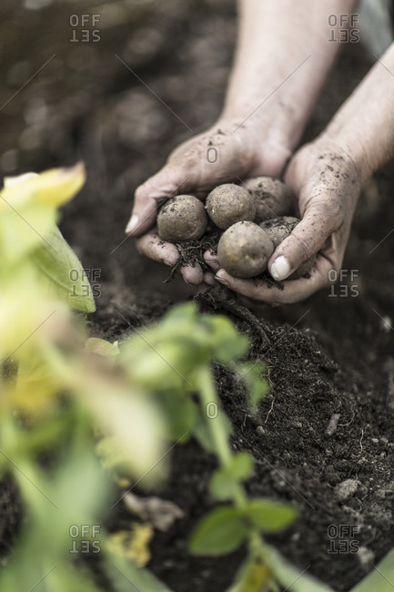 Hands holding new potatoes