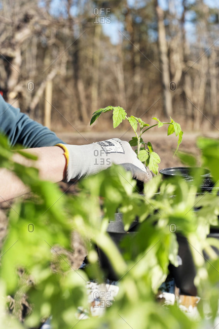 Person planting seedlings in garden
