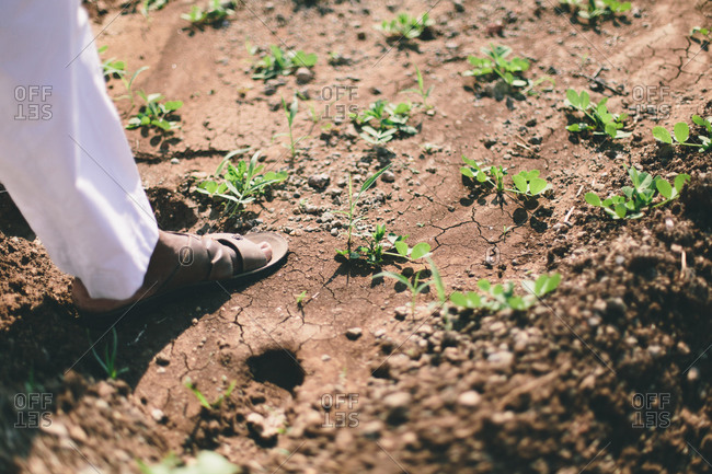 Close-up of a farmer's foot and green plant shoots in a field