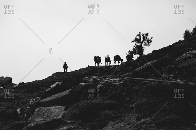 Mule train being led up a steep mountain in India