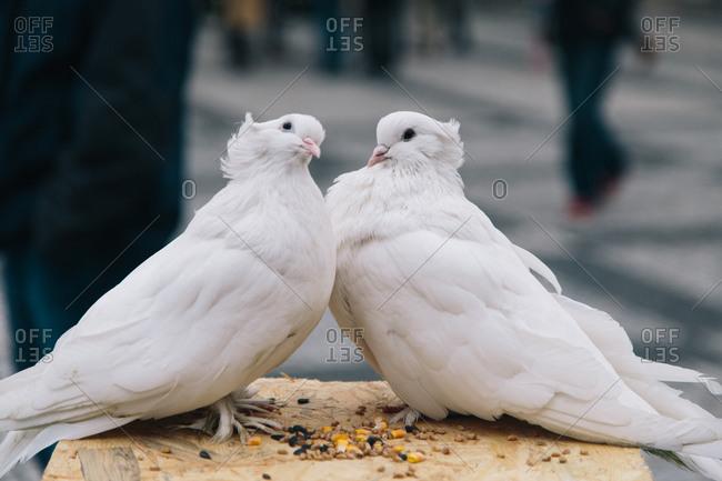 Two white pigeons in Prague, Czechoslovakia