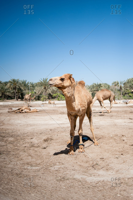 Janabiya Royal Camel Farm outside Manama, Bahrain