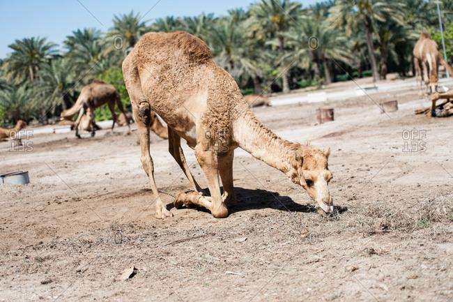 Janabiya Royal Camel Farm outside Manama, Bahrain