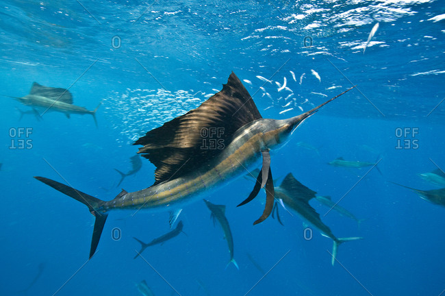 Underwater view of group of sailfish corralling sardine shoal at surface, Contoy Island, Quintana Roo, Mexico