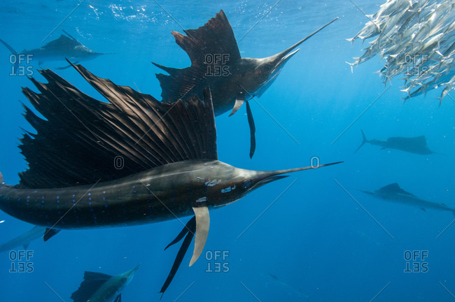 Underwater view of group of sailfish corralling sardine shoal toward surface, Contoy Island, Quintana Roo, Mexico
