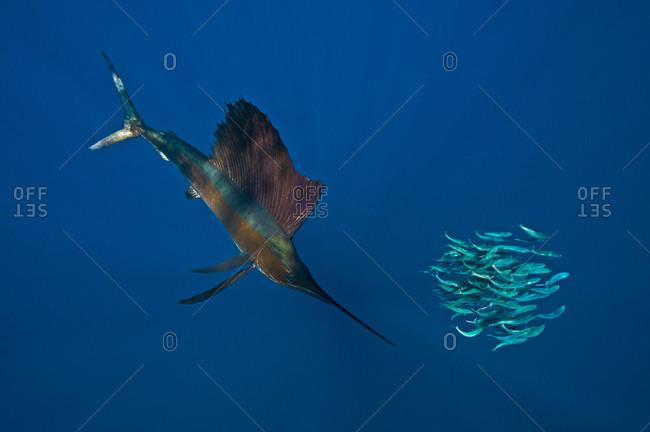 Underwater view of a sailfish corralling sardine shoal, Contoy Island, Quintana Roo, Mexico