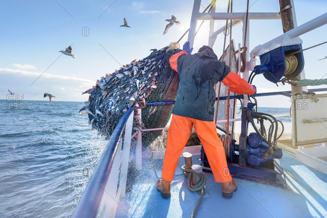 Man emptying net full of fish into hold on trawler