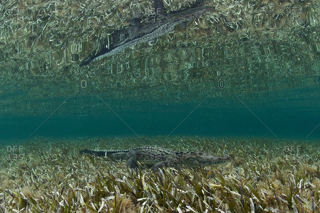 Underwater side view of crocodile on sea grass, Chinchorro Atoll, Quintana Roo, Mexico