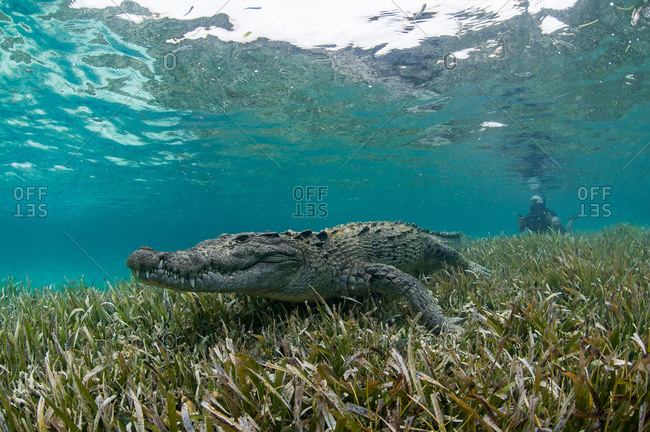 Underwater view of crocodile on sea grass in shallow water, Chinchorro Atoll, Quintana Roo, Mexico