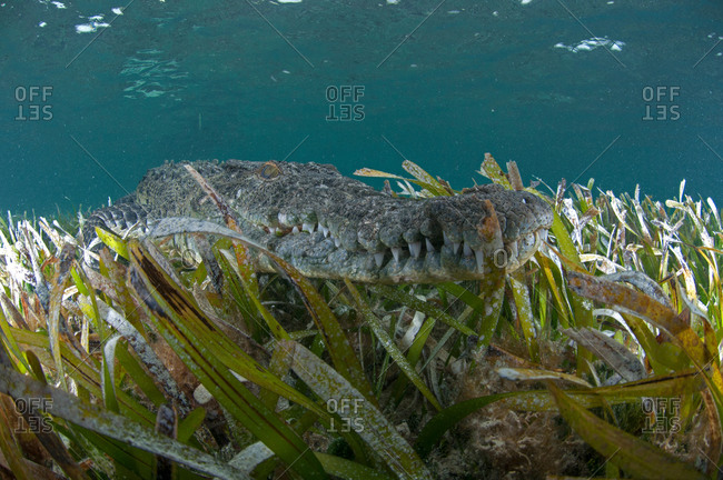 Underwater view of crocodile camouflaged in sea grass, Chinchorro Atoll, Quintana Roo, Mexico