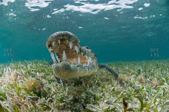 Underwater front view of crocodile on sea grass, open mouthed showing teeth, Chinchorro Atoll, Quintana Roo, Mexico