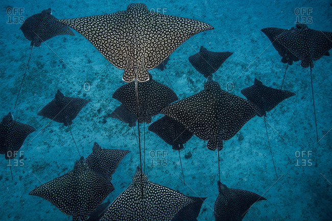 Underwater overhead view of spotted eagle rays casting shadows on seabed, Cancun, Mexico