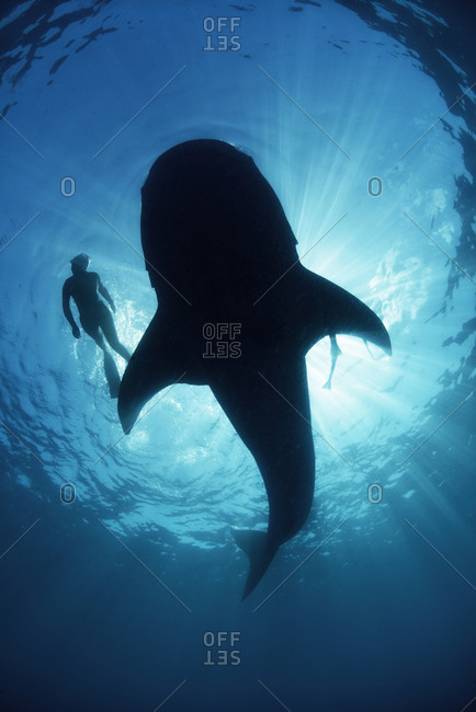 Underwater view from below a careless whale shark of scuba diver swimming alongside, backlit, Isla Mujeres, Mexico