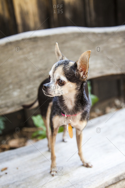 Chihuahua standing on bench
