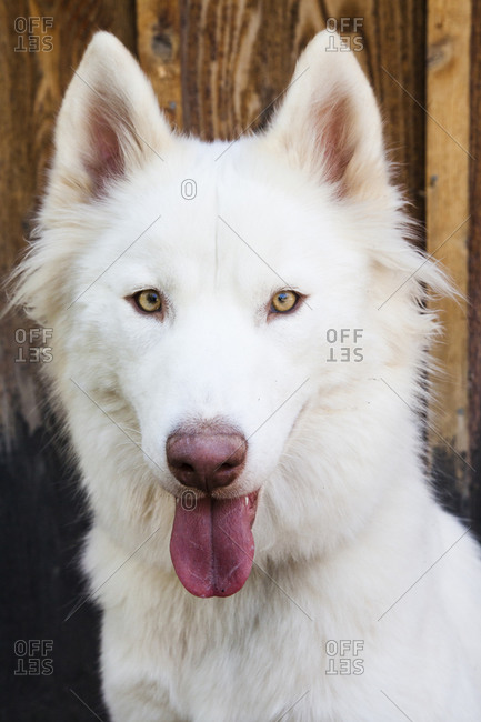 Face of calm white dog