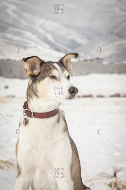 Dog staring in winter setting