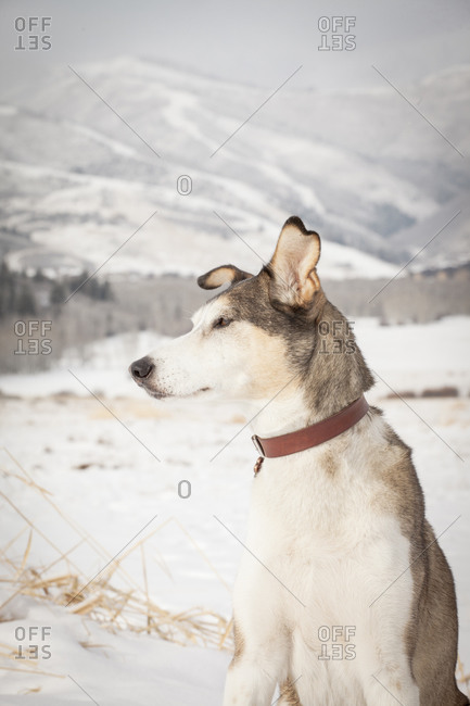 Alert dog in winter setting