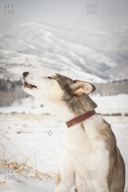 Dog howling in a winter setting