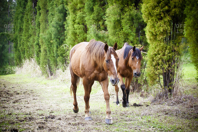 Two horses walking in Hawaii
