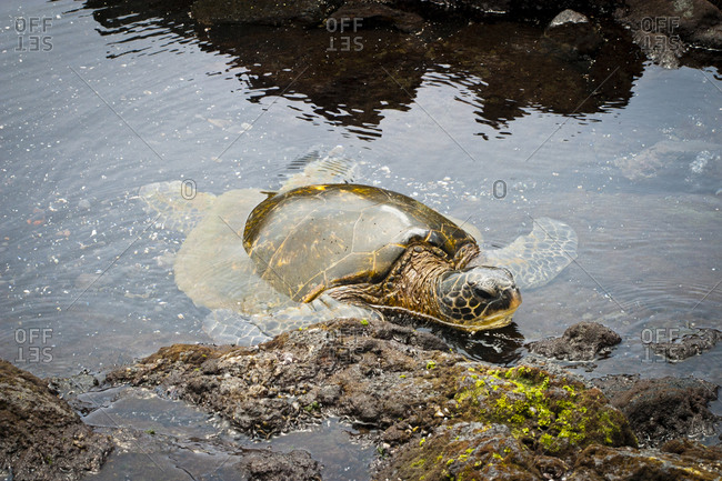 Turtle poking head from water
