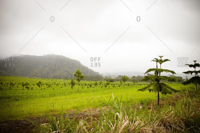 A tree farm in rural Hawaii