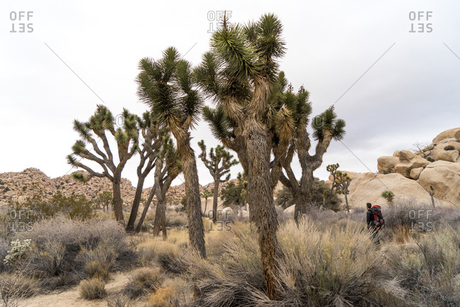 Backpacker walking among Joshua trees and boulders in Joshua Tree National Park