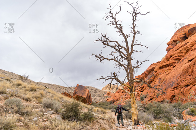 Backpacker hikes past a dead tree in desert