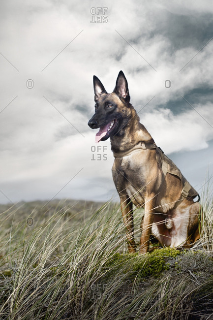 Portrait of a Military Working Dog in field