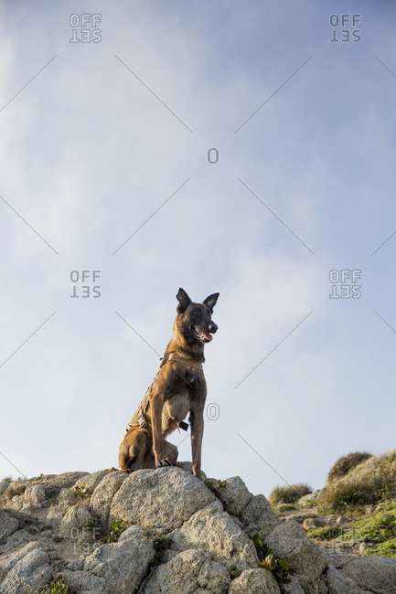 Portrait of Military Working Dog sitting on rock