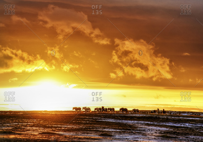 Icelandic ponies at sunrise