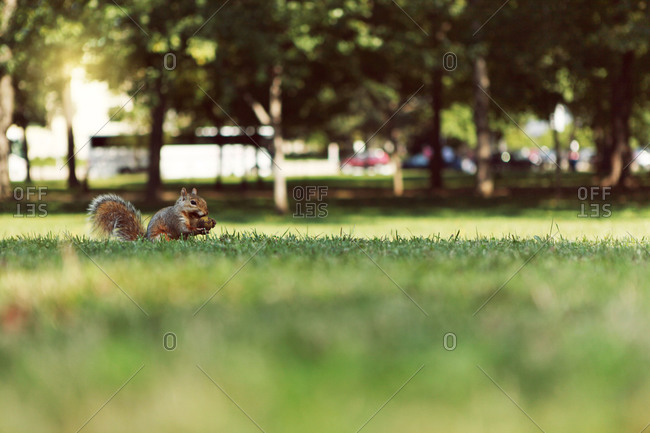 Squirrel carrying nut in a park