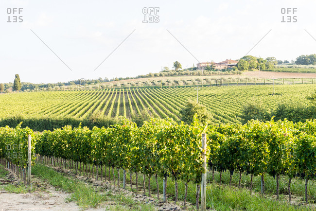 Siena, Tuscany, Italy - August 27, 2015: Vineyard in the Tuscan countryside