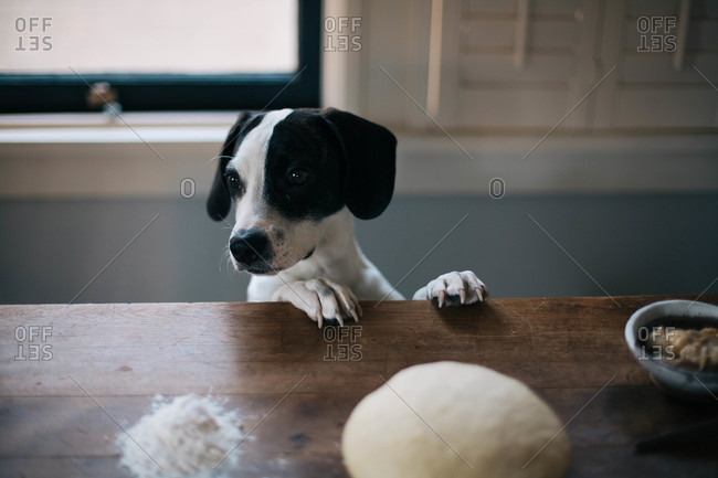 Dog with paws up on counter by ball of dough