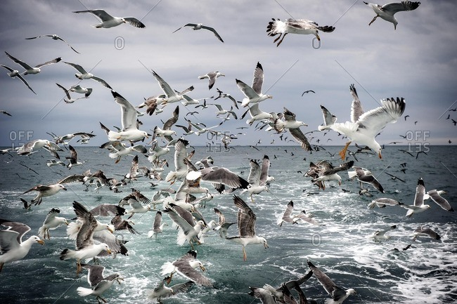 Seagulls flying over the wake of a fishing boat