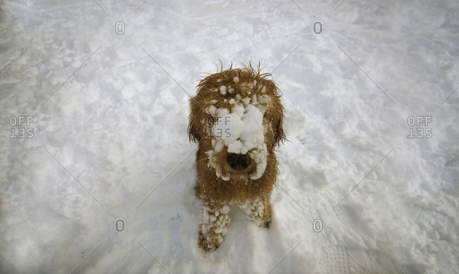 Dog with face covered in snow