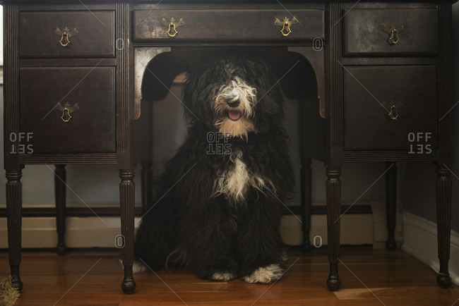 Dog underneath a desk