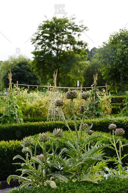 Vegetables growing amidst hedges in garden