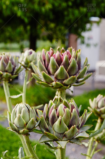 Artichokes growing in restaurant garden