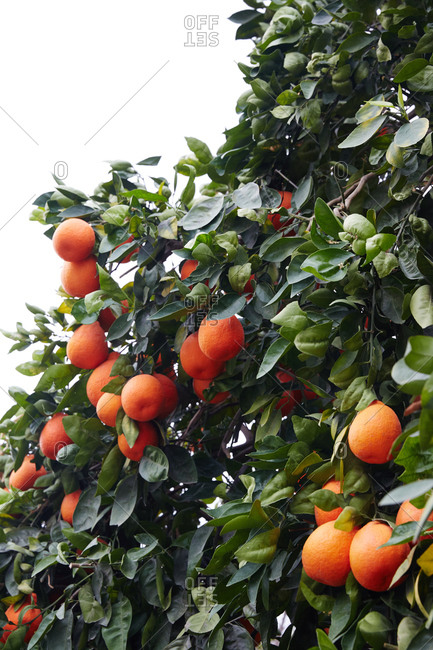 Orange tree branches laden with fruit