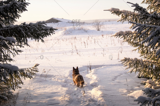 Dog looking out at snow covered landscape and distant farm building, Ural, Russia