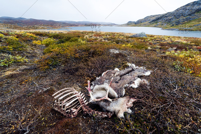 The skeleton and skin of a Barren-ground Caribou left on the tundra by a hunter
