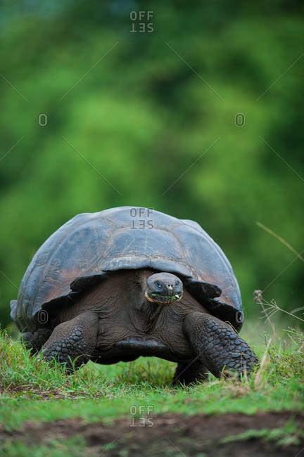A wild Galapagos giant tortoise, Geochelone elephantopus, on a migration trail across the highlands on Santa Cruz Island