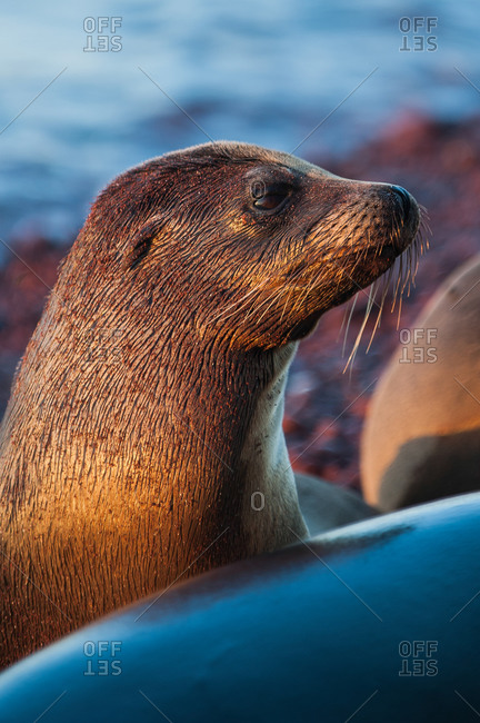 Galapagos sea lions, Zalophus californianus, at home on the red sand beaches of Rabida Island