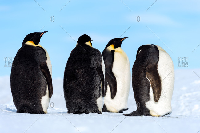 Emperor Penguins on the vast frozen plain of the Ross Ice Shelf
