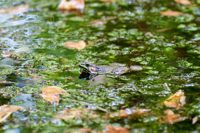 An American bullfrog cools itself in a pond on a summer day
