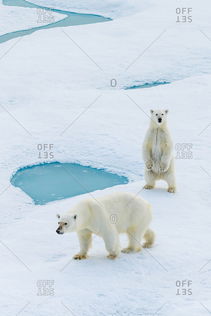 A standing polar bear cub and mom (Ursus maritimus) wander across pack ice in the Canadian Arctic