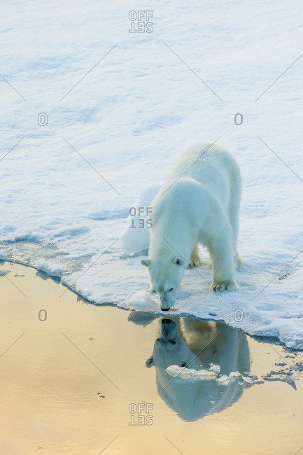 Self image A polar bear sees its reflection in sea water, from the edge of an ice floe