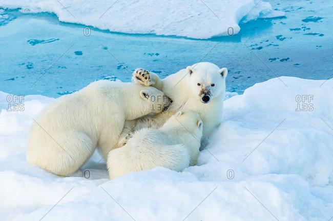 Mother polar bear nursing two cubs, Polar Bear Pass, Lancaster Sound, Nunavut