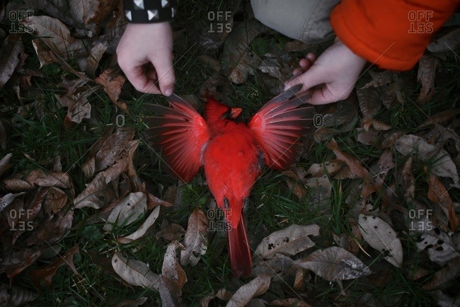 Child's hand spreading cardinal's wings