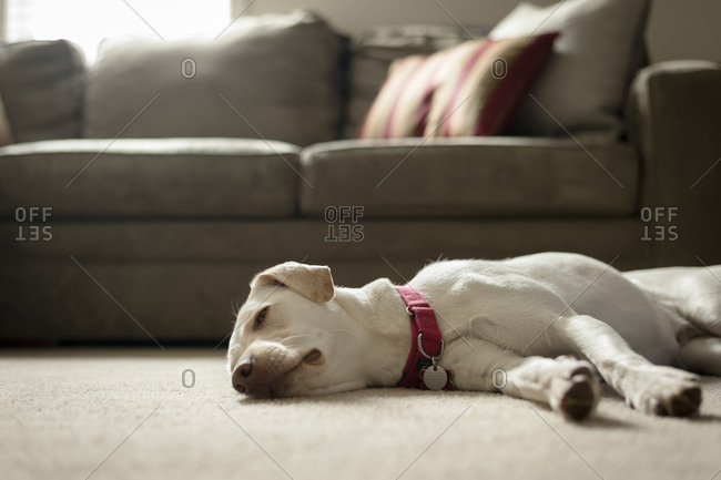 Dog lying resting on floor
